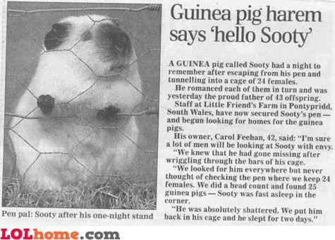 Guinea pig harem