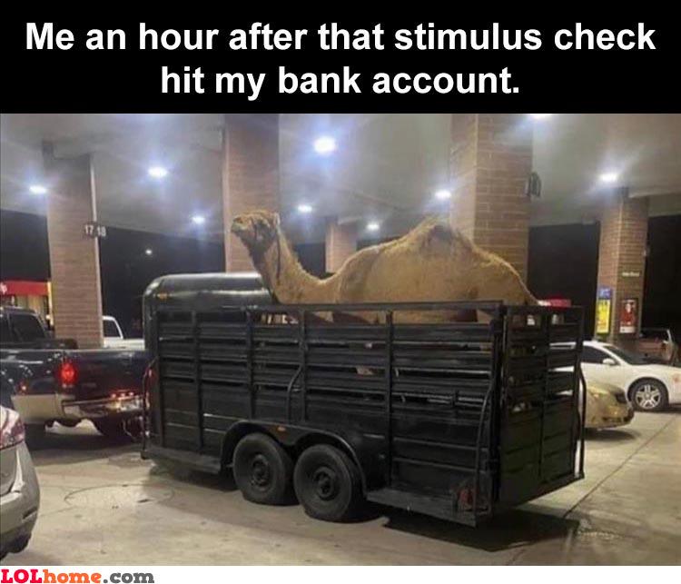 I should buy a camel