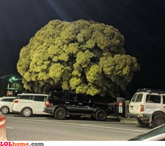 The giant broccoli