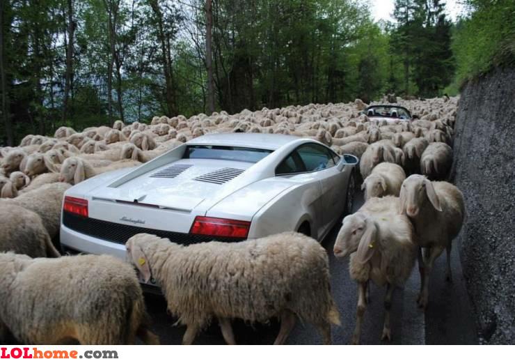 Sheep traffic