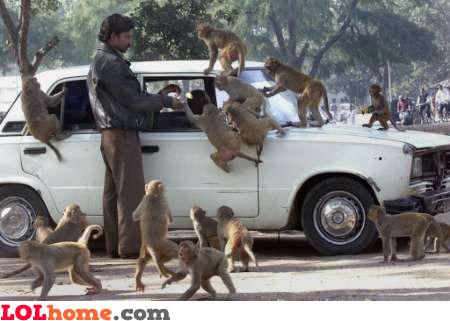 monkey attack!