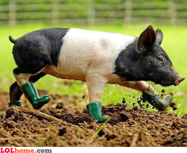 Pig boots: keeping your pig clean
