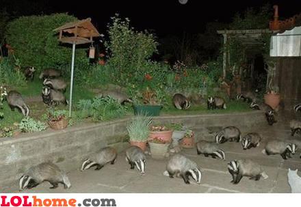 Badger invasion