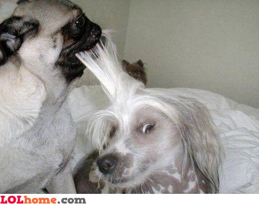 Barber dog