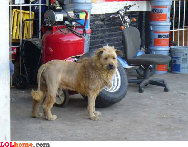 Owner wanted a lion