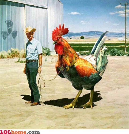 Huge Rooster
