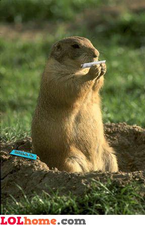 hamster rolling weed