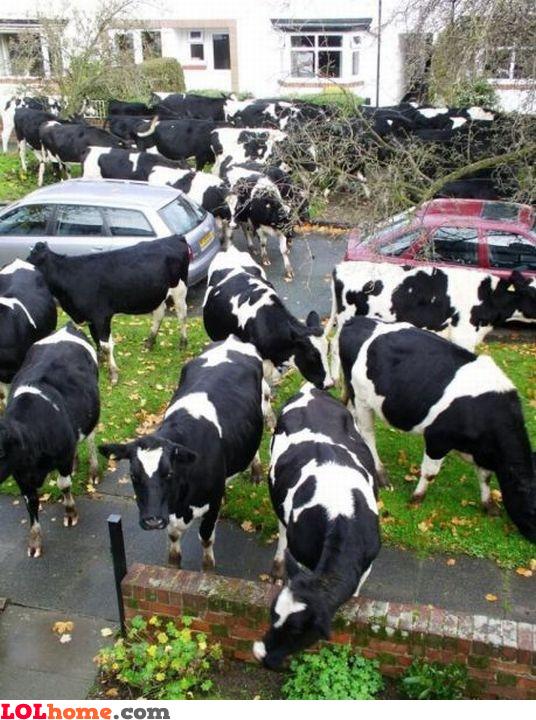 Cow invasion