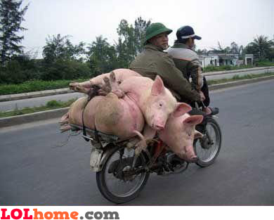 carrying pigs