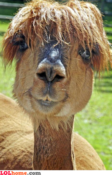 Camel's haircut