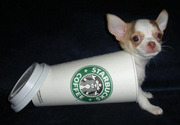 Puppy loves Starbucks
