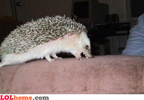 Hedgehog attacking the couch