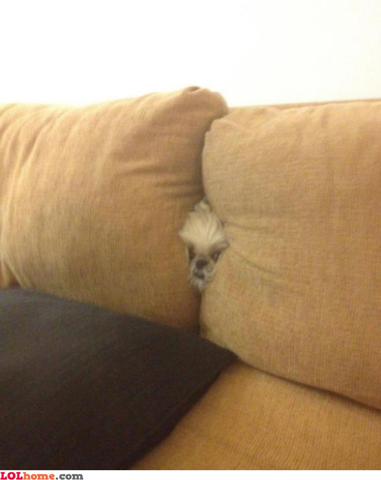 Dog's hide and seek