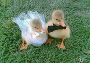 Duck wedding