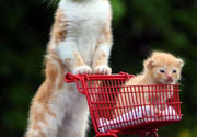 Cats go shopping