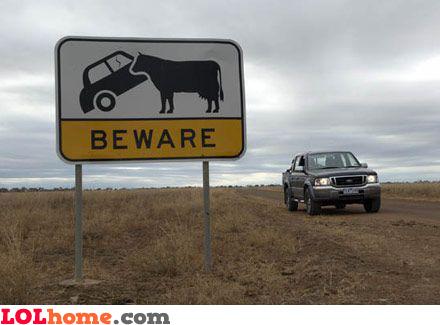 Dangerous cows. Beware!