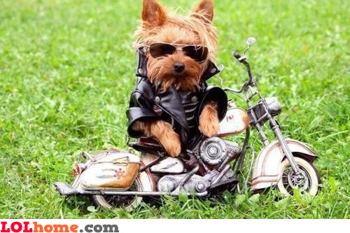 Dog is biker