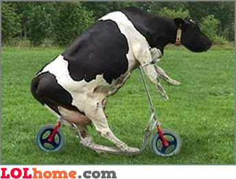 Sport cow