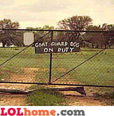 Goat guard dog on duty