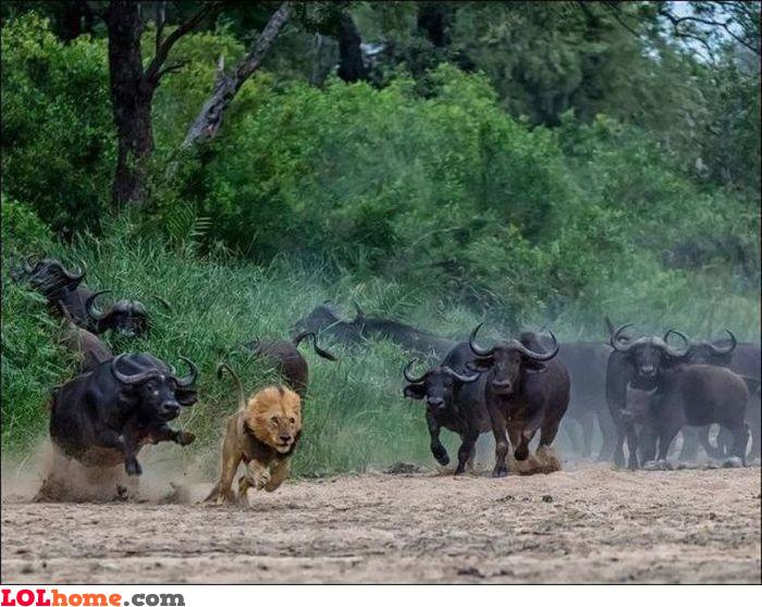Buffalo revenge